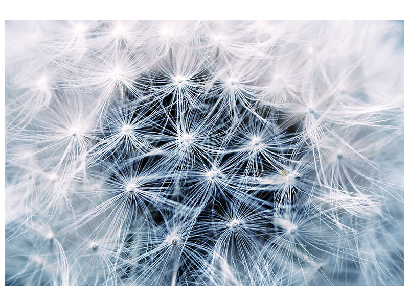 Canvasfoto Ripe dandelion Close up