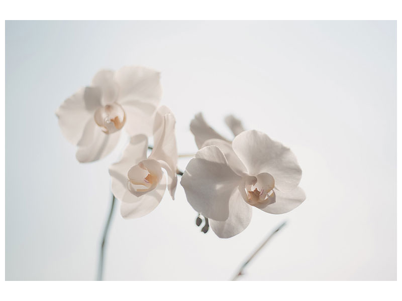 Canvasfoto Graceful orchids