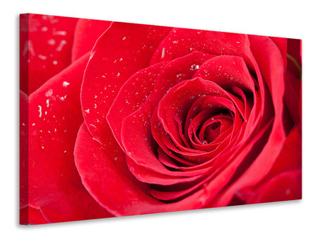 Canvasfoto Red Rose In Morning Dew