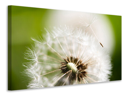 Canvas print Blowball Dandelion
