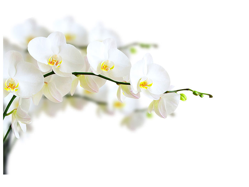 Canvasfoto White Orchids